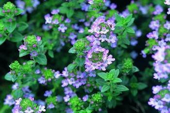 Pestovanie byliniek v kvetináči