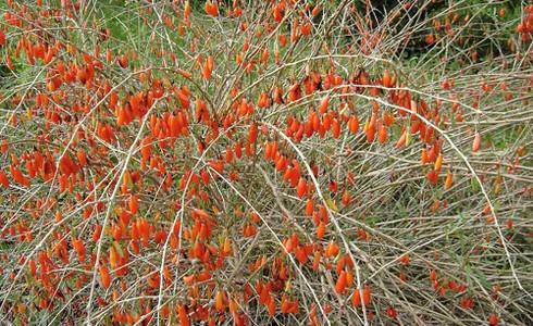 http://www.rostliny-semena.cz/galerie/1321550394.jpg