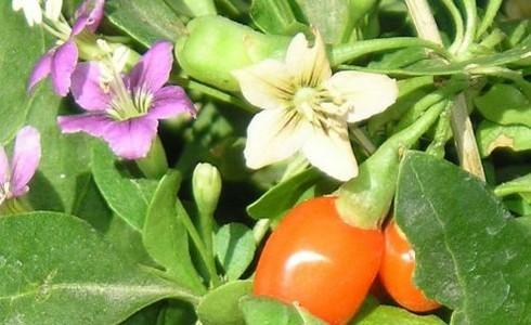 http://www.rostliny-semena.cz/galerie/1321550559.jpg