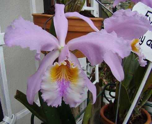 Venezuelská orchidej