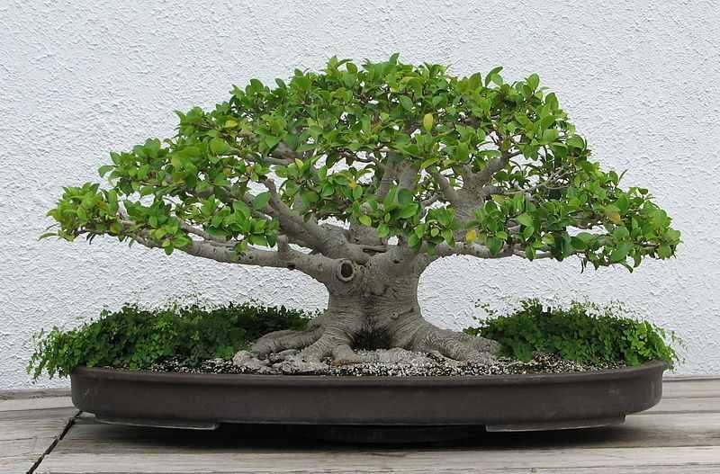 http://www.rostliny-semena.cz/galerie/800px-chinese-banyan--1971-2007_1354486701.jpg