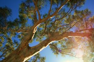 Vzrostlý Eukalyptus z Austrálie