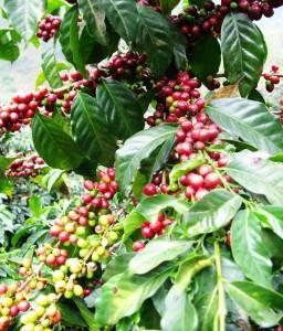 Semena rostliny kavovniku