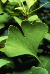Rostliny Jinanu semena gingo