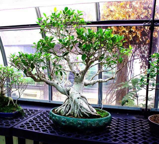 http://www.rostliny-semena.cz/galerie/bonsai-tree-071_1354486759.jpg