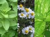 Bylinková zahrada - mix čerstvých bylinek