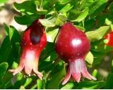 Granátovník obecný (Punica granatum) 7 semen