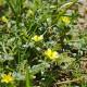 Kotvičník Zemní ( tribulus terrestris) 10 semen