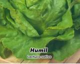 Salát hlávkový ozimý - Humil - semena salátu 0,6g