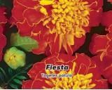 Aksamitník rozkladitý Fiesta