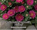 Astra Průhonický trpaslík růžová