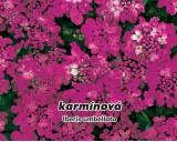 Iberka okoličnatá - Karmínová - semena iberky 0,3g