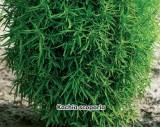 Cypřišek letní - semena 0,4g