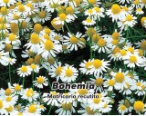 Heřmánek pravý Bohemia