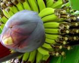 Banánovník Dwarf Cavendish (rostlina: musa acuminata) - semena  banánovníku 5ks