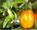 Habanero Chilli - Žluté (rostlina: capsicum) - semena chili 10 ks, pálivost 8/10 *