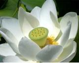 Lotos Indický (rostlina: nelumbo nucifera) - semena lotosu 4 ks