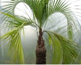 Palma Jelly (Butia catarinensis) - 2 semena palmy