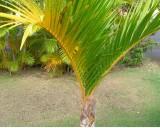 Palma Vřetenová (Hyophorbe verschaffeltii) - 4 semena palmy