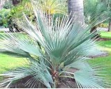 Palma Stříbrná (Nannorrhops arabica) - 3 semena palmy