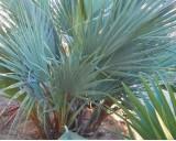 Palma Pákistánská (Nannorrhops ritchiana) - 3 semena palmy