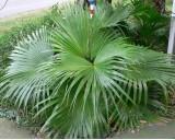 Palma Čínská (Livistona chinensis) - 2 semena palmy