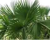Palma Trpasličí (Sabal minor) - 3 semena palmy