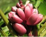 Banánovník Velutina (rostlina: Musa velutina) - 5 semen banánovníku