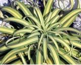 Agáve Bracteosa (Agave bracteosa) - semena  10 ks