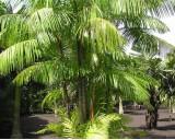 Palma Akai (Euterpe oleracea) - 3 semena palmy