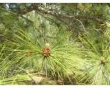 Borovice Himalájská (Pinus roxburghii) - 4 semena borovice