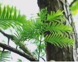 Metasekvoj Čínská (Metasequoia glyptostroboides) - cca 12 semen