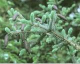 Smrk Dračí (Picea asperata) - 10 semen smrku