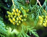Thuja Západní (Thuja occidentalis) - cca 30 semen thuje