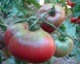 Rajče Černý Krim (prazelenina: solanum) - semena cca 15 ks