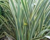 Lenovník Novozálandský (Phormium tenax) - semena 10 ks