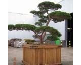 Tis japonský (rostlina: Taxus cuspidata) 4 semena