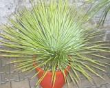 Juka rostrata (Yucca rostrata)   5 semen