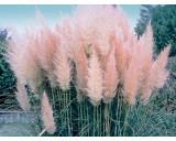 Pampová tráva-růžová (Cortaderia selloana rosea) cca 70 semínek