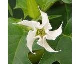 Durman obecný (rostlina: Datura stramonium) semena