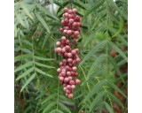Pepřovec (rostlina: Schinus molle) 6  semen