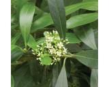 Cesmína paraguayská (rostlina: Ilex paraguariensis)  10 semen