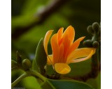 Magnólie champacea ( rostlina: Magnolia champaca) 6 semen