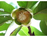 Dilenie indická (rostlina: Dillenia indica)  semena