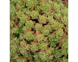 Aeonium spathulatum (rostlina: Aeonium spathulatum) cca 15 semínek