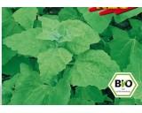 Melde – Lebeda Zahradní (rostlina: Atriplex hortensis) BIO semena