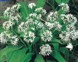 Medvědí česnek - Lesní česnek (rostlina: Allium ursinum)