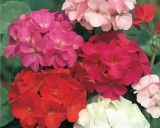 Pelargonie zonale mix