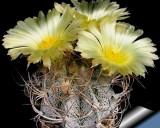 Kaktus Crassispinoides (rostlina: Astrophytum crassispinoides) – 6 semen