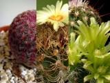 Mix pro kaktusáře - 6 netradičních kaktusů